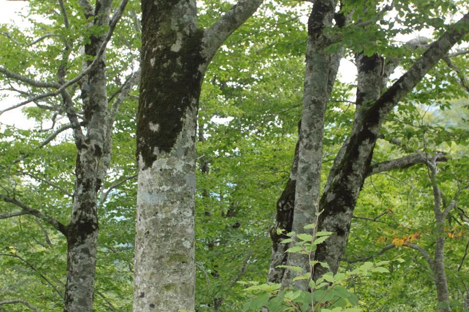 まだ緑が鮮やかなブナの森。 だけど空気はほんのり秋の香りです。