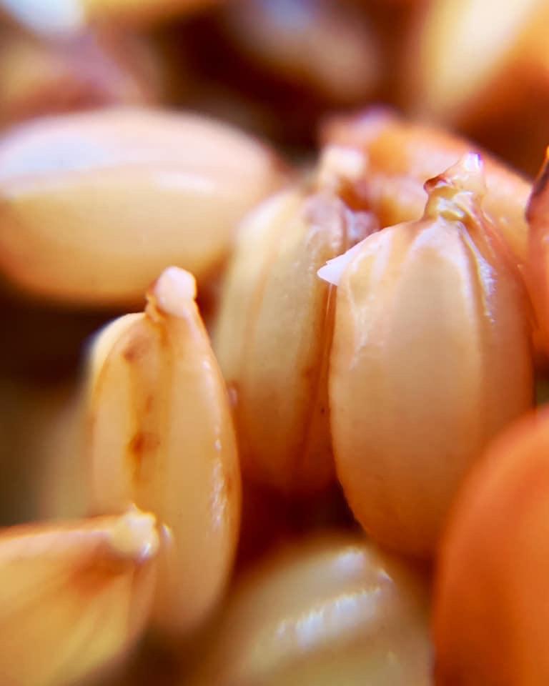 シゼトモ米の発芽