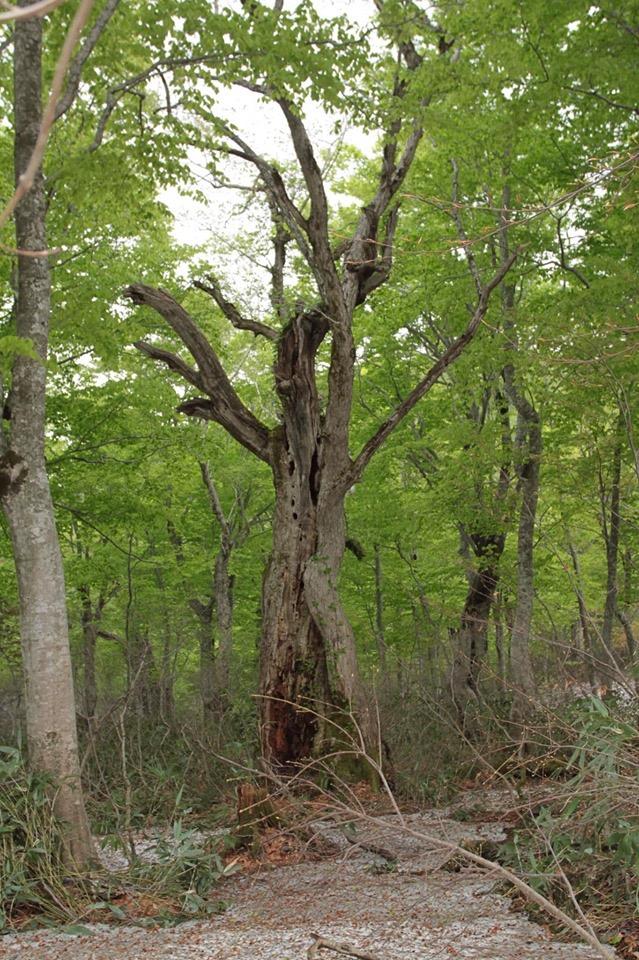 たぶん、400年は生きてきたであろう森の長老。 あなたはどんな思いでこの世界を見ているのだろう。