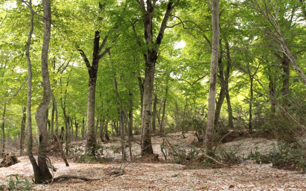 ここ賀老高原では、積雪が多いため雪解けの前にブナの木が新緑をむかえます。
