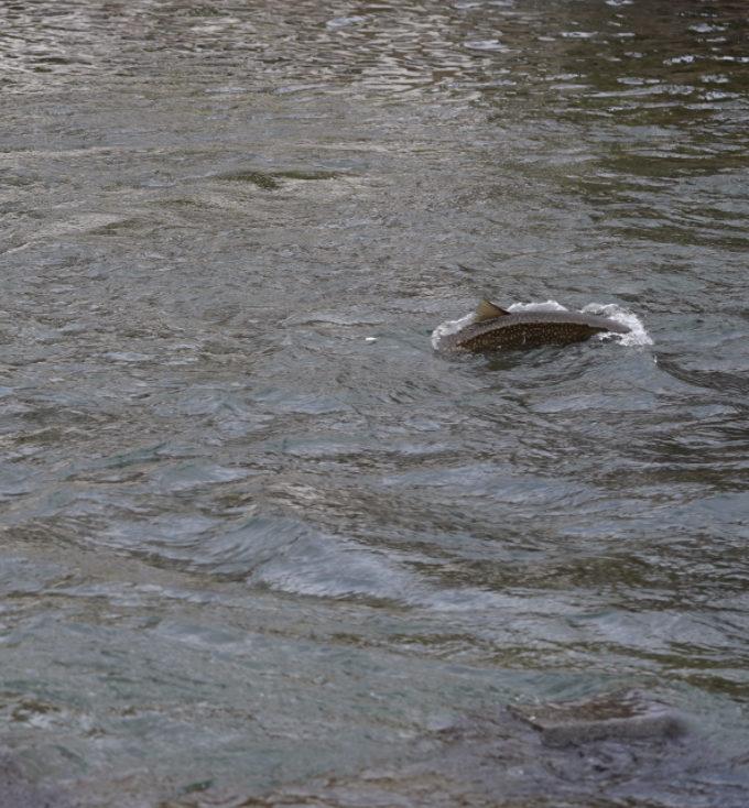 鮭稚魚を捕食するアメマス 目測70センチはある個体。虫食い模様が急成長の証