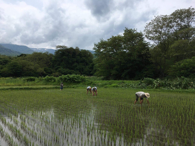 自然栽培の田んぼは草取りが命!