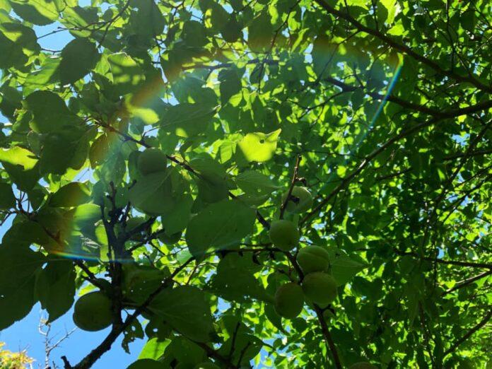 折れた梅の木