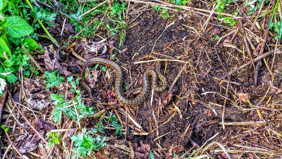 マムシの幼蛇