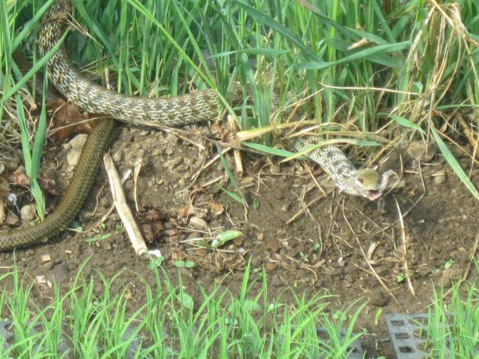 カエルを捕食するアオダイショウ