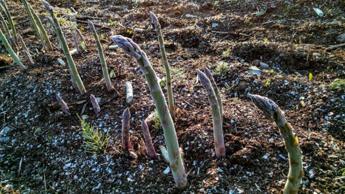北海道の路地栽培アスパラ