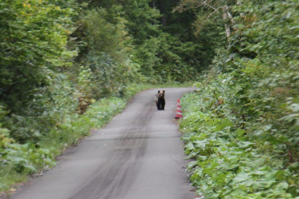 島牧村のヒグマ