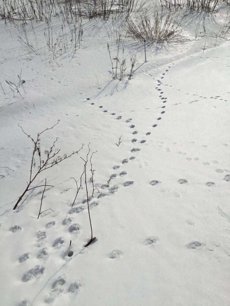 キツネの足跡-2