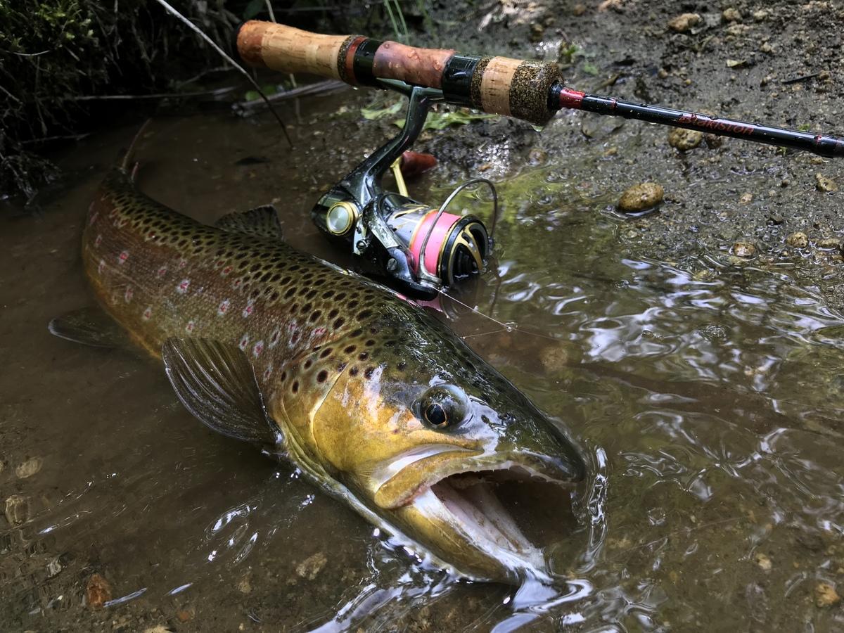 ブラウントラウト 渓流釣り